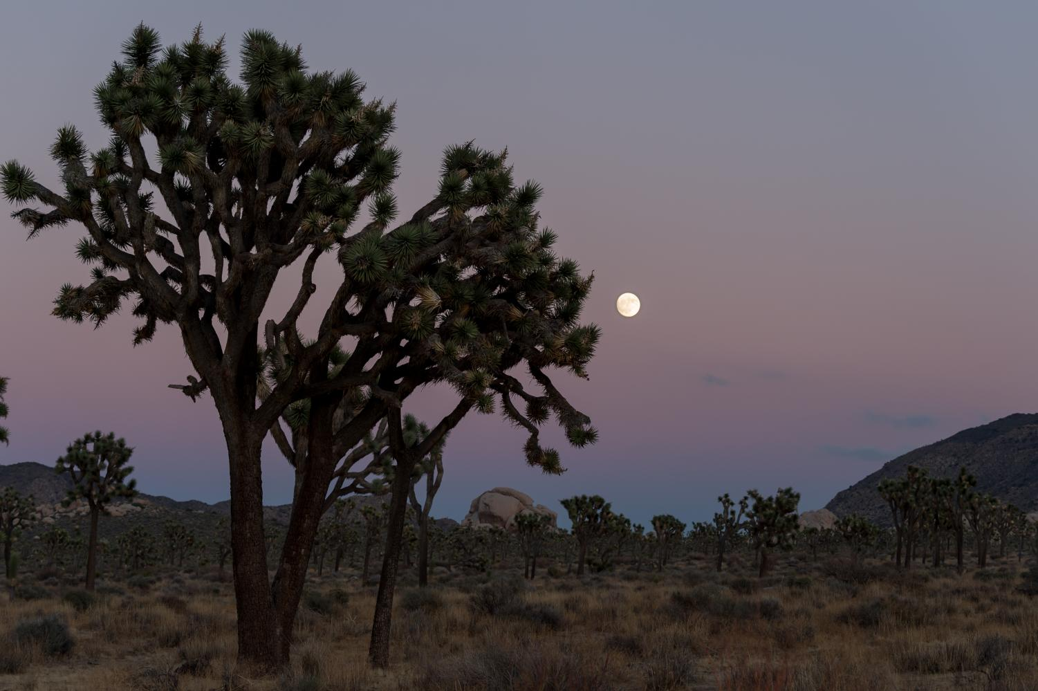 Photo of the Joshua Tree courtesy of the National Park Services