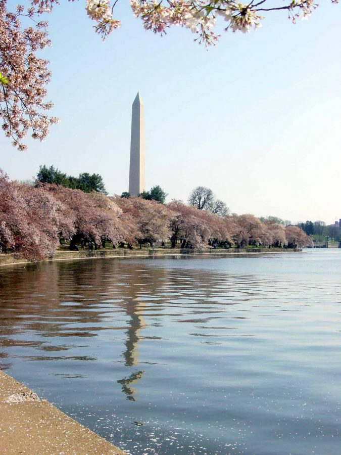 This is the Washinton Monument seen bordered by cherry blossom trees. A festival celebrating the blossoms takes place between Mar. 20-Apr. 14.                          Photo courtesy of the National Cherry Blossom Festival